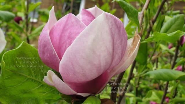Магнолия Суланжа Амабилис (Magnolia soulangeana Amabilis) ФОТО Питомник растений Природа (5)