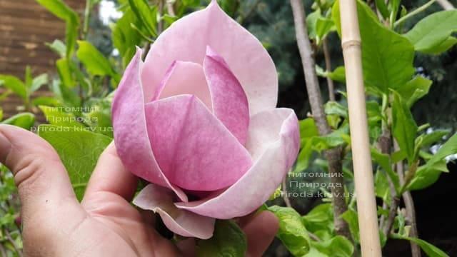 Магнолия Суланжа Амабилис (Magnolia soulangeana Amabilis) ФОТО Питомник растений Природа (7)