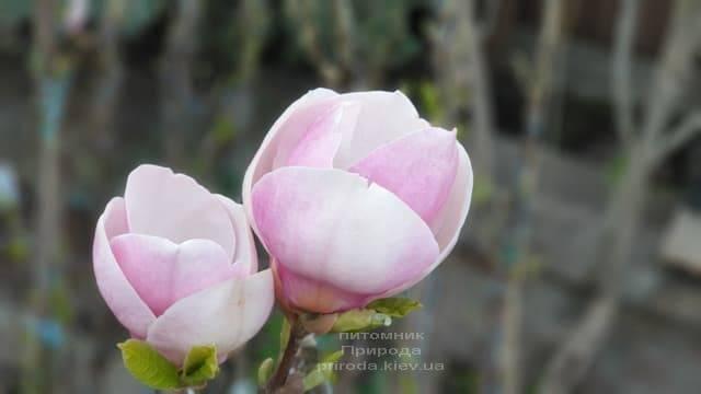 Магнолия Суланжа Ленней (Magnolia soulangeana Lennei) ФОТО Питомник растений Природа (5)