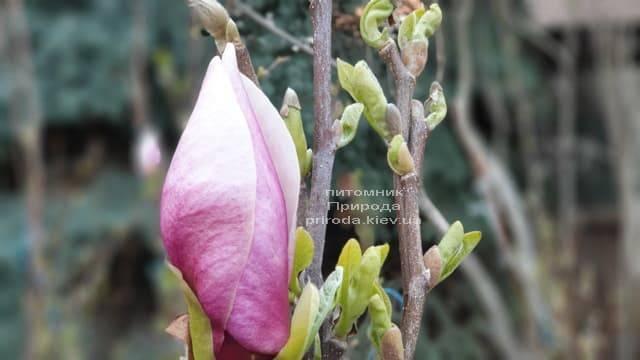 Магнолия Суланжа Ленней (Magnolia soulangeana Lennei) ФОТО Питомник растений Природа (6)