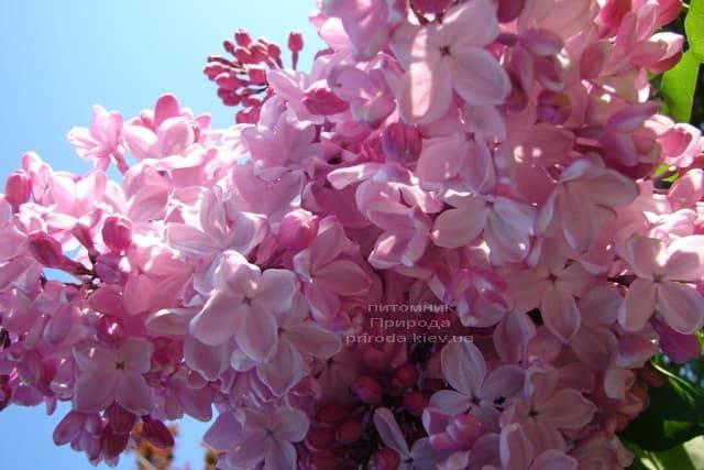 Сирень Маршал Фош (Syringa vulgaris Marchal Foch) ФОТО Питомник растений Природа (20)
