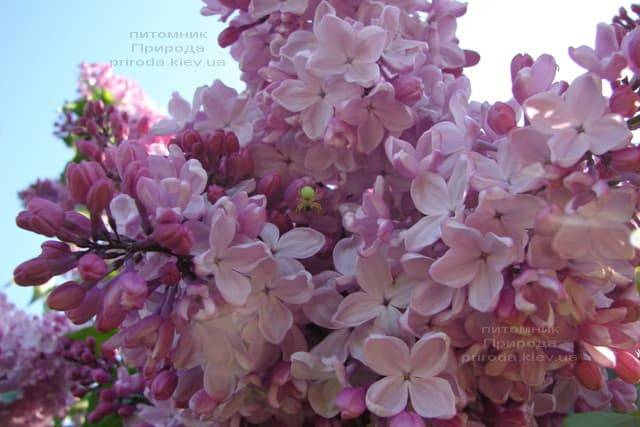 Сирень Маршал Фош (Syringa vulgaris Marchal Foch) ФОТО Питомник растений Природа (21)