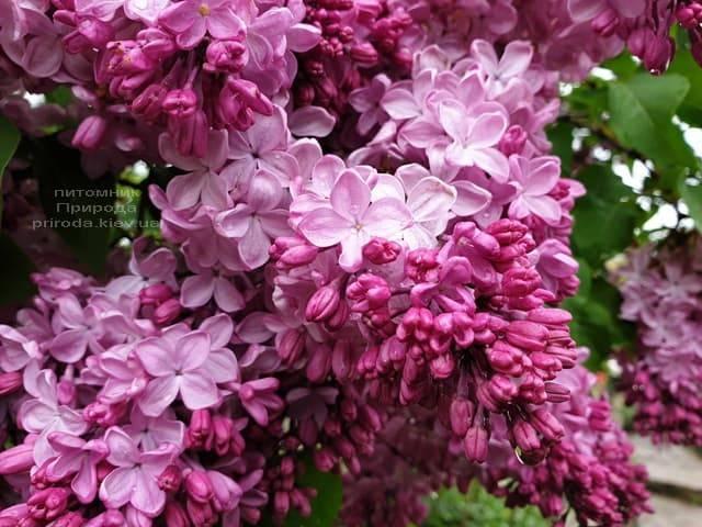 Сирень Маршал Фош (Syringa vulgaris Marchal Foch) ФОТО Питомник растений Природа (33)