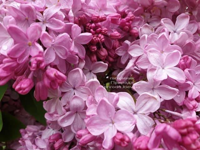 Сирень Маршал Фош (Syringa vulgaris Marchal Foch) ФОТО Питомник растений Природа (35)