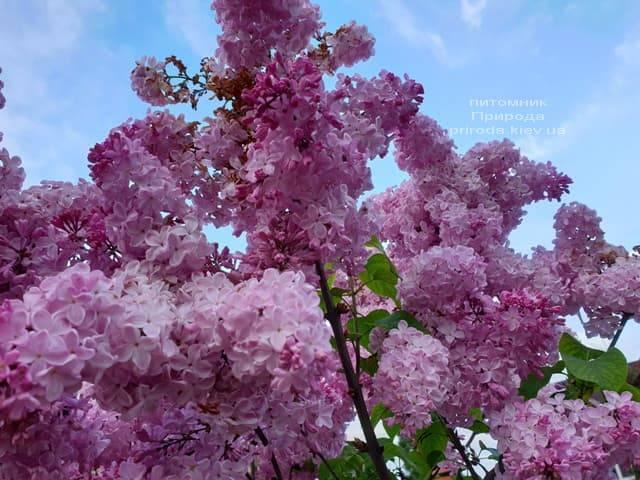 Сирень Маршал Фош (Syringa vulgaris Marchal Foch) ФОТО Питомник растений Природа (36)