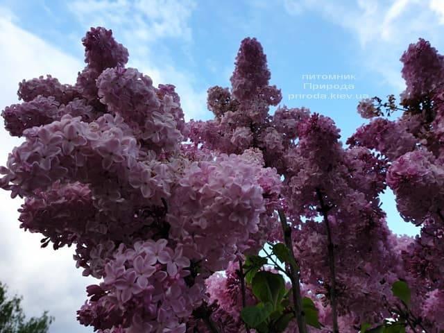 Сирень Маршал Фош (Syringa vulgaris Marchal Foch) ФОТО Питомник растений Природа (37)