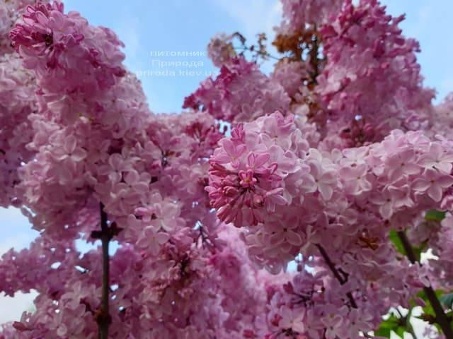Сирень Маршал Фош (Syringa vulgaris Marchal Foch) ФОТО Питомник растений Природа (38)