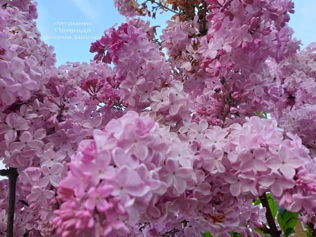 Сирень Маршал Фош (Syringa vulgaris Marchal Foch) ФОТО Питомник растений Природа (39)