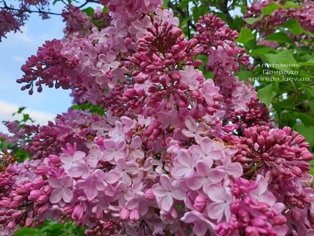 Сирень Маршал Фош (Syringa vulgaris Marchal Foch) ФОТО Питомник растений Природа (40)