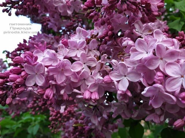 Сирень Маршал Фош (Syringa vulgaris Marchal Foch) ФОТО Питомник растений Природа (42)