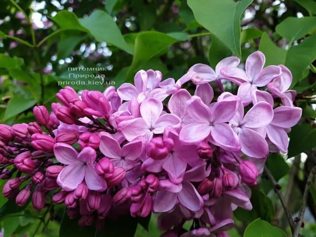 Сирень Маршал Фош (Syringa vulgaris Marchal Foch) ФОТО Питомник растений Природа (43)