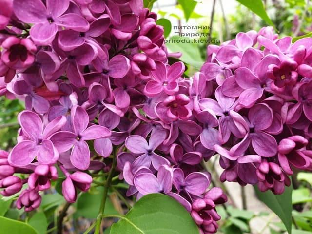 Сирень Знамя (Syringa vulgaris Znamja) ФОТО Питомник растений Природа (11)