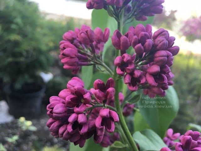 Сирень Знамя (Syringa vulgaris Znamja) ФОТО Питомник растений Природа (15)