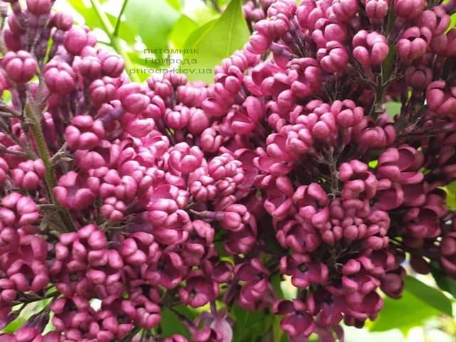 Сирень Знамя (Syringa vulgaris Znamja) ФОТО Питомник растений Природа (17)