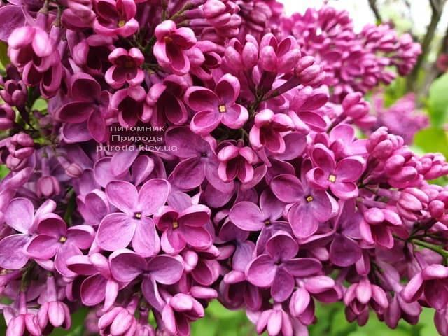 Сирень Знамя (Syringa vulgaris Znamja) ФОТО Питомник растений Природа (18)