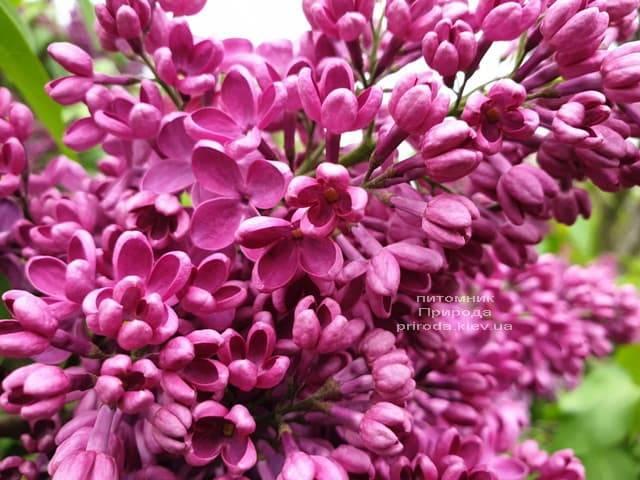 Сирень Знамя (Syringa vulgaris Znamja) ФОТО Питомник растений Природа (19)