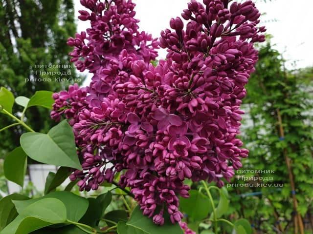 Сирень Знамя (Syringa vulgaris Znamja) ФОТО Питомник растений Природа (21)