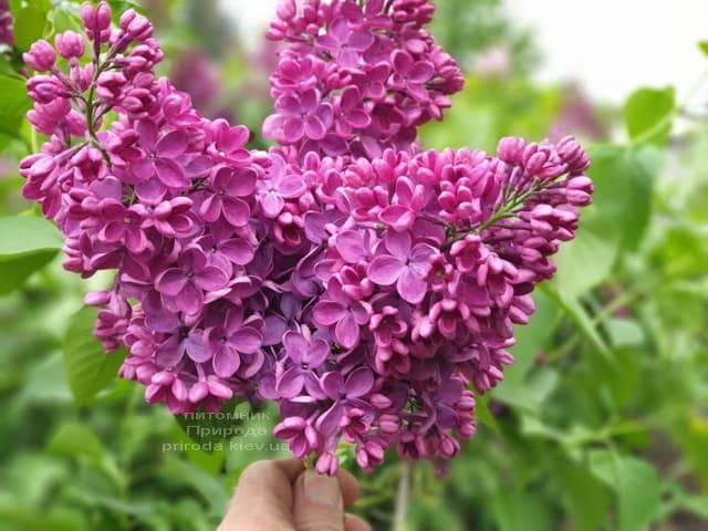 Сирень Знамя (Syringa vulgaris Znamja) ФОТО Питомник растений Природа (22)