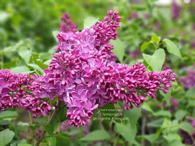 Сирень Знамя (Syringa vulgaris Znamja) ФОТО Питомник растений Природа (23)