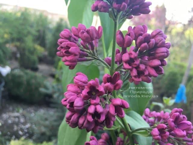 Сирень Знамя (Syringa vulgaris Znamja) ФОТО Питомник растений Природа (24)