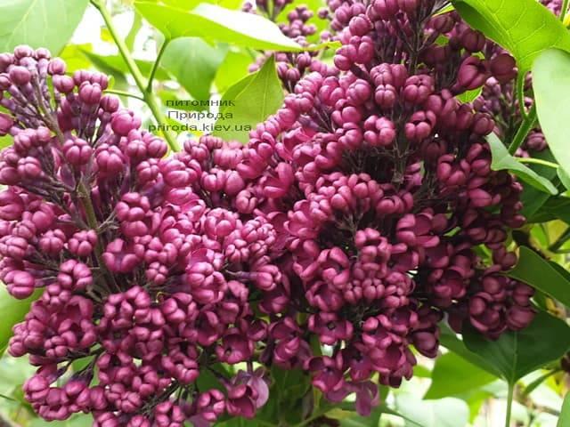 Сирень Знамя (Syringa vulgaris Znamja) ФОТО Питомник растений Природа (7)