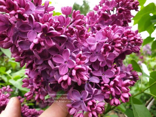 Сирень Знамя (Syringa vulgaris Znamja) ФОТО Питомник растений Природа (9)