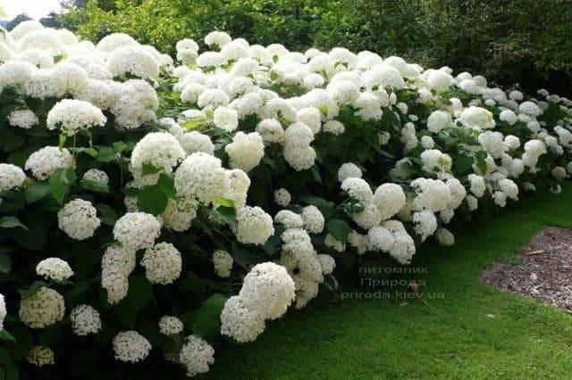 Гортензия древовидная Анабель (Hydrangea arborescens Anabelle) ФОТО Питомник растений Природа (1)