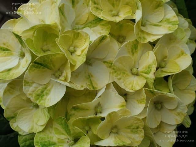 Гортензия крупнолистная Кайпиринья (Hydrangea macrophylla Caipirinha) ФОТО Питомник растений Природа (6)