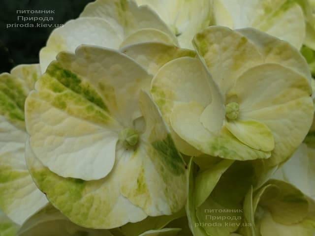 Гортензия крупнолистная Кайпиринья (Hydrangea macrophylla Caipirinha) ФОТО Питомник растений Природа (7)