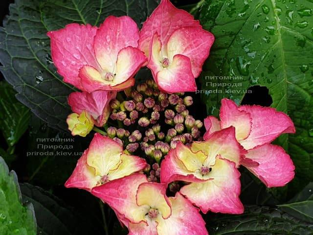 Гортензия крупнолистная Дарк Энджел (Hydrangea macrophylla Dark Angel) ФОТО Питомник растений Природа (3)