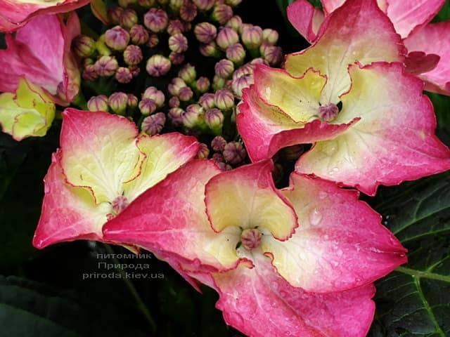 Гортензия крупнолистная Дарк Энджел (Hydrangea macrophylla Dark Angel) ФОТО Питомник растений Природа (8)