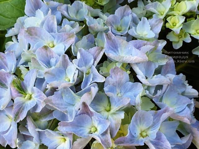 Гортензия крупнолистная Форевер Эвер Блю (Hydrangea macrophylla Forever & Ever Blue) ФОТО Питомник растений Природа (4)