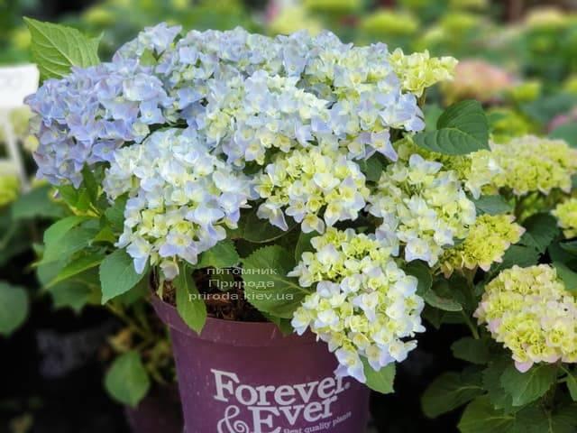 Гортензия крупнолистная Форевер Эвер Блю (Hydrangea macrophylla Forever & Ever Blue) ФОТО Питомник растений Природа (7)