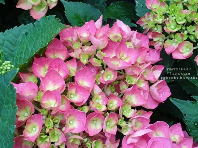 Гортензия крупнолистная Форевер Эвер Рэд (Hydrangea macrophylla Forever & Ever Red) ФОТО Питомник растений Природа (10)