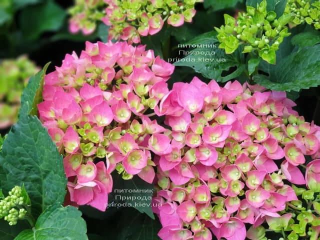 Гортензия крупнолистная Форевер Эвер Рэд (Hydrangea macrophylla Forever & Ever Red) ФОТО Питомник растений Природа (11)
