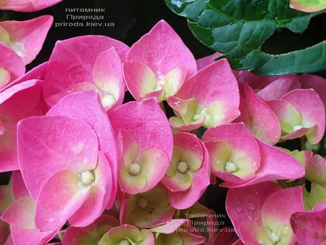 Гортензия крупнолистная Форевер Эвер Рэд (Hydrangea macrophylla Forever & Ever Red) ФОТО Питомник растений Природа (12)