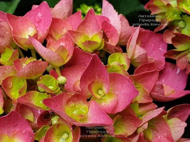 Гортензия крупнолистная Форевер Эвер Рэд (Hydrangea macrophylla Forever & Ever Red) ФОТО Питомник растений Природа (13)