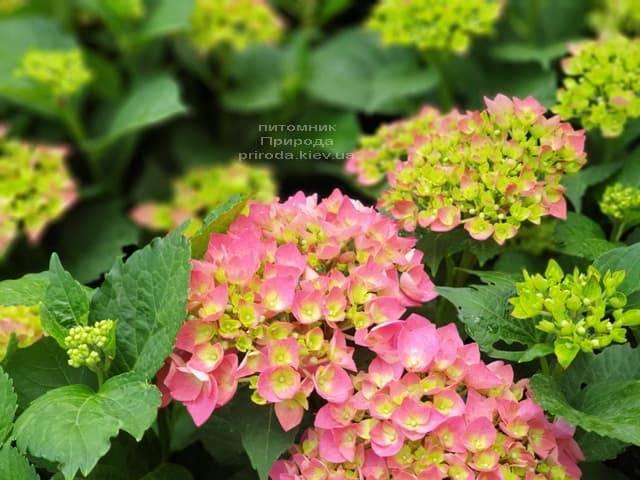 Гортензия крупнолистная Форевер Эвер Рэд (Hydrangea macrophylla Forever & Ever Red) ФОТО Питомник растений Природа (14)