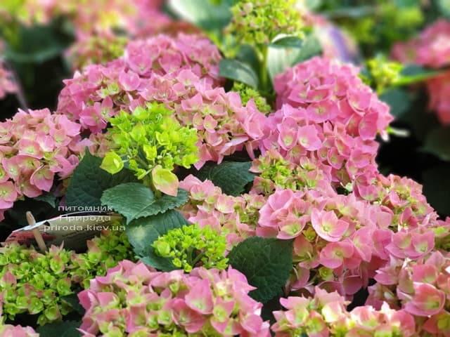 Гортензия крупнолистная Форевер Эвер Рэд (Hydrangea macrophylla Forever & Ever Red) ФОТО Питомник растений Природа (15)