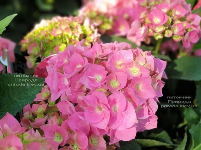Гортензия крупнолистная Форевер Эвер Рэд (Hydrangea macrophylla Forever & Ever Red) ФОТО Питомник растений Природа (16)
