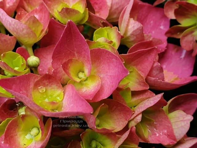 Гортензия крупнолистная Форевер Эвер Рэд (Hydrangea macrophylla Forever & Ever Red) ФОТО Питомник растений Природа (4)