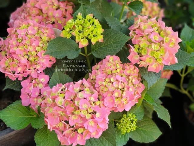 Гортензия крупнолистная Форевер Эвер Рэд (Hydrangea macrophylla Forever & Ever Red) ФОТО Питомник растений Природа (7)