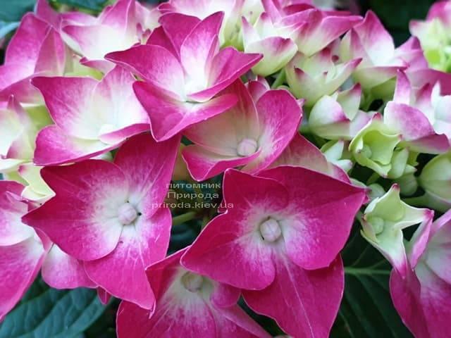 Гортензия крупнолистная Льойхфойер (Hydrangea macrophylla Leuchtfeuer) ФОТО Питомник растений Природа (10)
