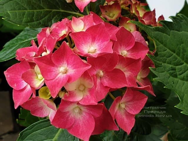 Гортензия крупнолистная Льойхфойер (Hydrangea macrophylla Leuchtfeuer) ФОТО Питомник растений Природа (11)