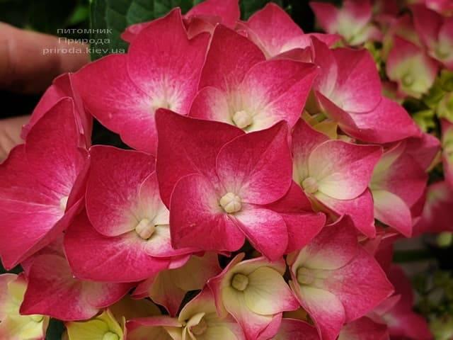 Гортензия крупнолистная Льойхфойер (Hydrangea macrophylla Leuchtfeuer) ФОТО Питомник растений Природа (12)