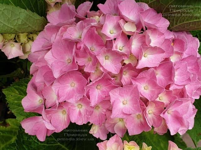 Гортензия крупнолистная Льойхфойер (Hydrangea macrophylla Leuchtfeuer) ФОТО Питомник растений Природа (13)