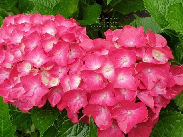Гортензия крупнолистная Льойхфойер (Hydrangea macrophylla Leuchtfeuer) ФОТО Питомник растений Природа (15)