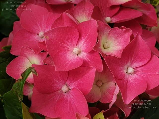 Гортензия крупнолистная Льойхфойер (Hydrangea macrophylla Leuchtfeuer) ФОТО Питомник растений Природа )4)