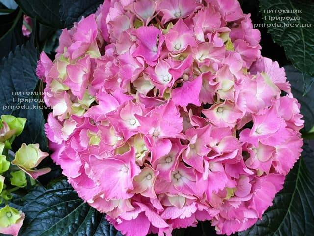 Гортензия крупнолистная Мася (Hydrangea macrophylla Masja) ФОТО Питомник растений Природа (2)