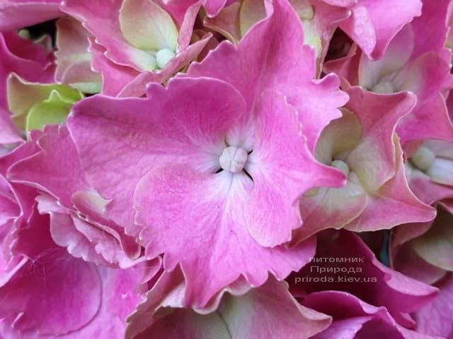Гортензия крупнолистная Мася (Hydrangea macrophylla Masja) ФОТО Питомник растений Природа (4)